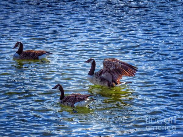 Goose Poster featuring the photograph Herding Geese by Rrrose Pix