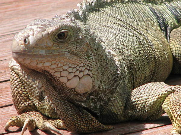Iguana Poster featuring the photograph Here Leezard Leezard by Stacey May