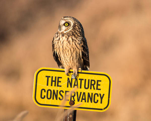 Short Eared Owl Poster featuring the photograph Here's Your Sign by Rodney Ervin