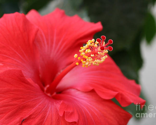 Red Flower Poster featuring the photograph Hibiscus by Steve Augustin
