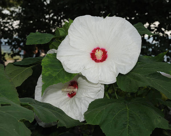 Flower Poster featuring the photograph Hibiscus by Terese Loeb Kreuzer