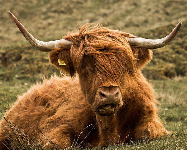 Highland Cow Poster featuring the photograph Highland Cow Color by Justin Albrecht
