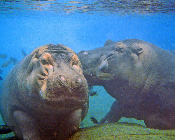 Animals Poster featuring the photograph Hippos In Love by Steve Karol