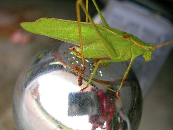 Katydid Poster featuring the photograph Hitchin' A Ride by Randy Rosenberger