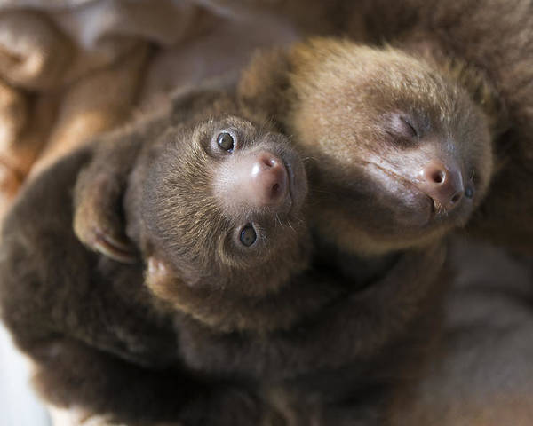 Mp Poster featuring the photograph Hoffmanns Two-toed Sloth Orphans Hugging by Suzi Eszterhas