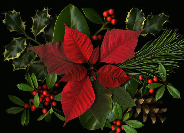 Poinsetta Poster featuring the photograph Holiday Greenery by Deborah J Humphries
