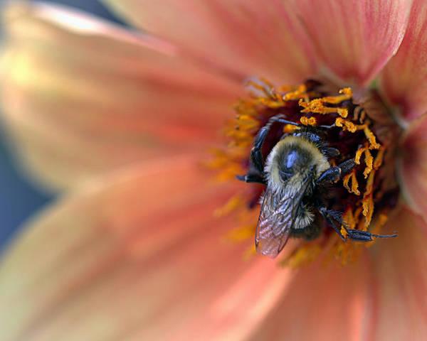 Wheaton Md Poster featuring the photograph Honey Bee by Joseph Skompski