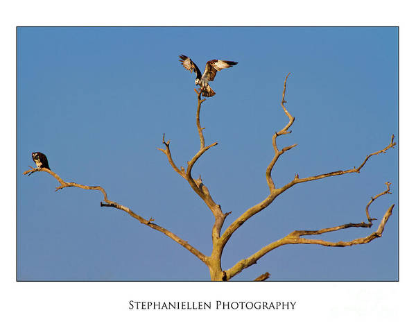 Osprey Poster featuring the photograph Honeymoon Osprey by Stephanie Hayes