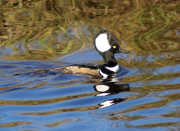 Duck Poster featuring the photograph Hooded Mersanger by Debbie May