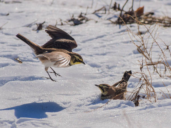 Wildlife Poster featuring the photograph Horned Lark by Phillip McNeil