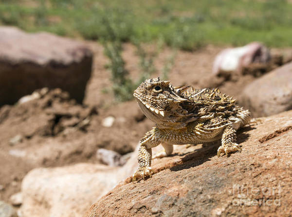 Cutts Nature Photography Poster featuring the photograph Horned Lizard by David Cutts