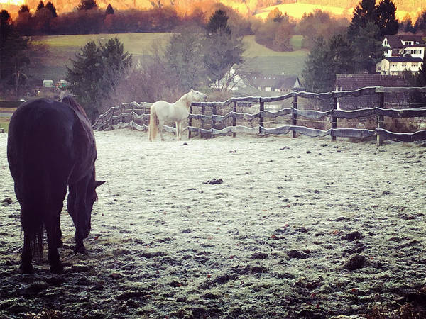 Horses Poster featuring the photograph Horses On A Frosty Pasture by Amy Challenger
