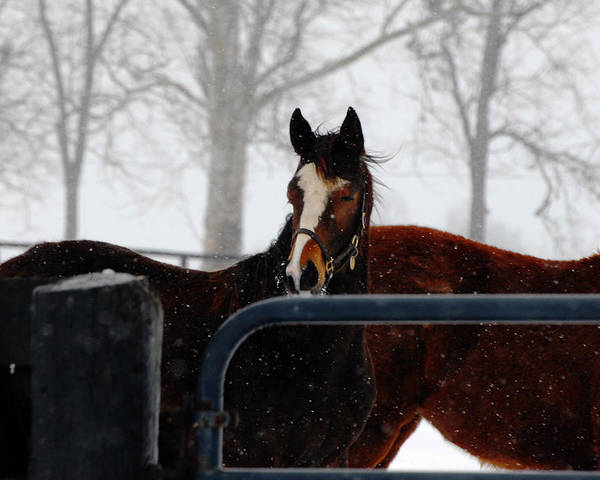 Snow Poster featuring the photograph Horse In A Snowstorm by Steven Crown