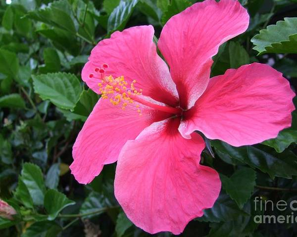Pink Poster featuring the photograph Hot Pink Hibiscus 1 by Mary Deal