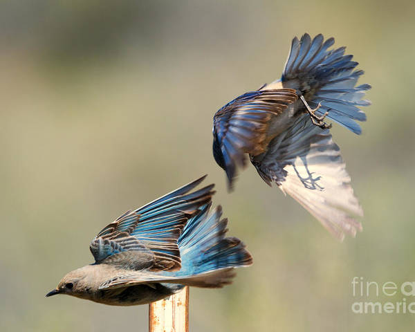 Mountain Bluebird Poster featuring the photograph Hot Pursuit by Mike Dawson