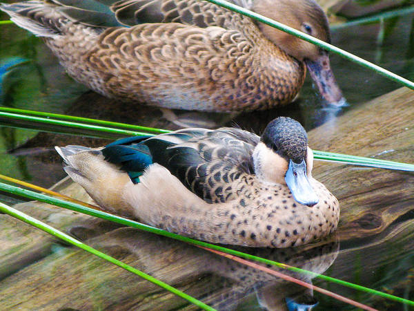 Duck Poster featuring the photograph Hottentot Teal by Dan Lease