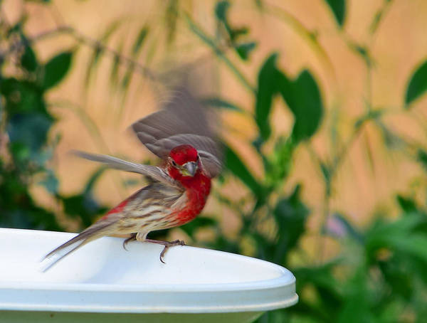 Bird Poster featuring the photograph House Finch - 2 by Alan C Wade