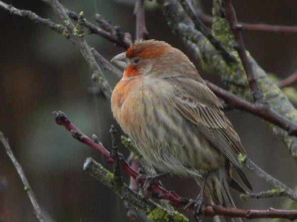 Birds Poster featuring the photograph House Finch On A Rainy Day by Glen Faxon