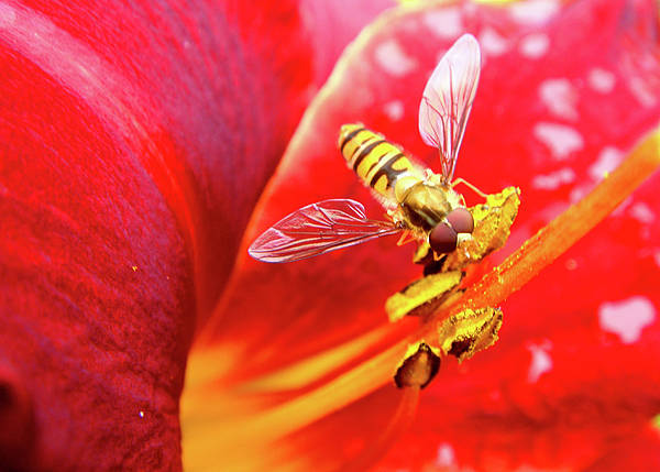 Fly Poster featuring the photograph Hoverfly by Roberto Alamino