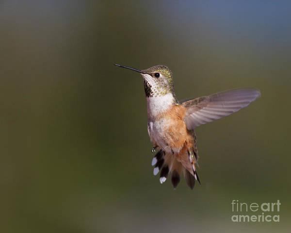Bird; Flying; Hummingbird; Rufous Hummingbird Selasphorus Rufus; Summer Poster featuring the photograph Hovering Hummingbird by Tim Grams