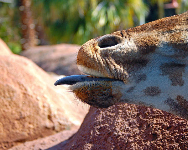 Giraffe Poster featuring the photograph How About A Kiss by Donna Proctor