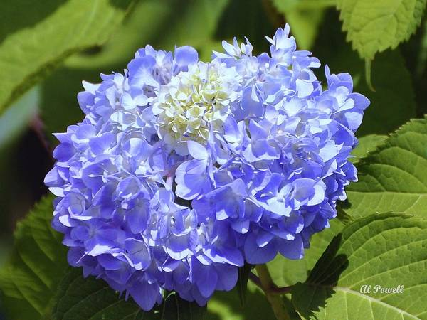 Flower Poster featuring the photograph Huge Hydrangea by Al Powell Photography USA