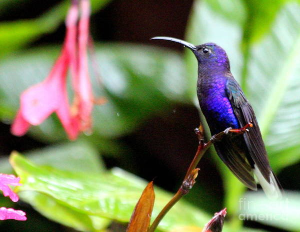 Humming Birds Poster featuring the photograph Humming Bird Costa Rica by Irina Hays