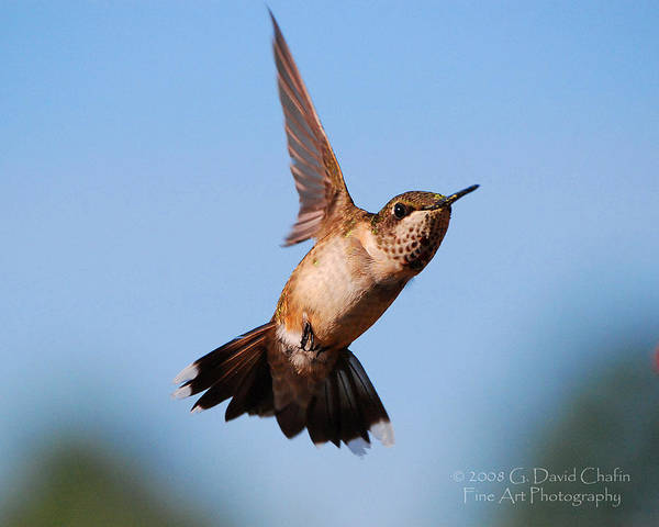 Animal Poster featuring the photograph Hummingbird In Flight by Dave Chafin