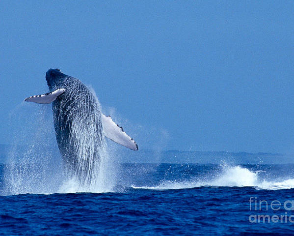 Animal Art Poster featuring the photograph Humpback Whale Breaching by Ed Robinson - Printscapes