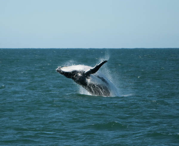 Horizontal Poster featuring the photograph Humpback Whale Breaching by Peter K Leung