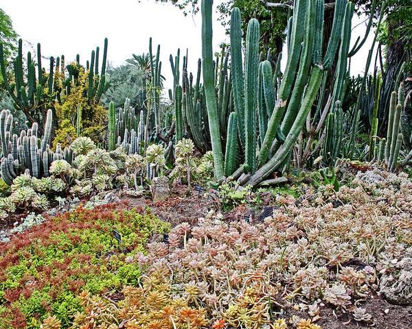 Huntington Desert Garden In San Marino-california Poster by Ruth Hager