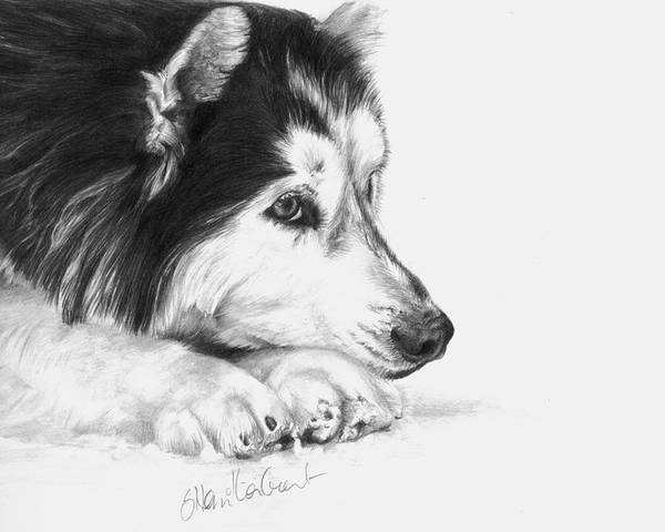 Dog Drawing Poster featuring the drawing Husky Contemplation by Sheona Hamilton-Grant