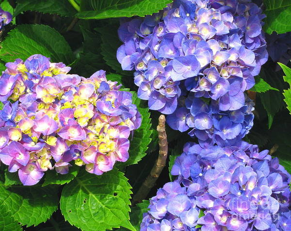 Hydrangea Poster featuring the photograph Hydrangea Blues by Colleen Kammerer