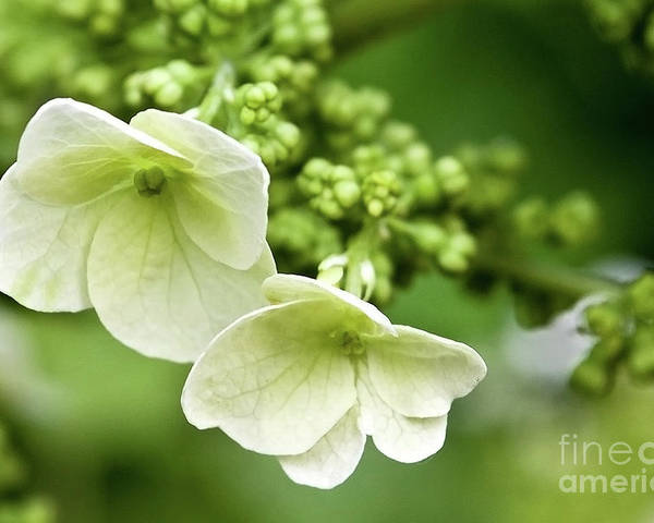 Angelini Poster featuring the photograph Hydrangea Buds Visit Www.angeliniphoto.com For More by Mary Angelini