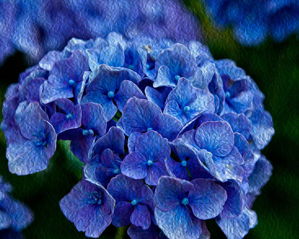 Hydrangea Has Been Given An Oil Painting Effect Poster featuring the photograph Hydrangea by Dennis Eckel