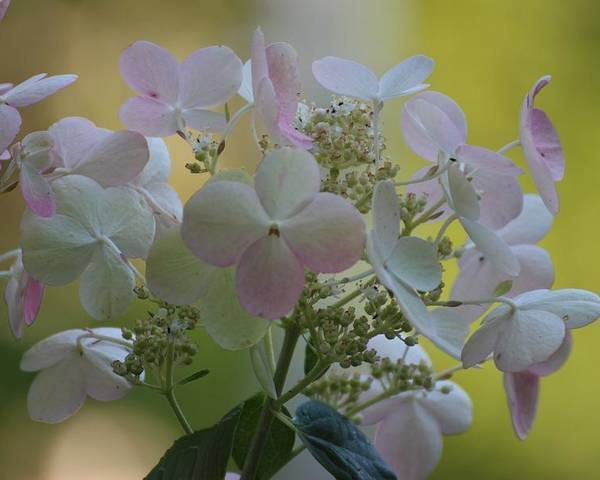 Poster featuring the photograph Hydrangea by Martha Boyle