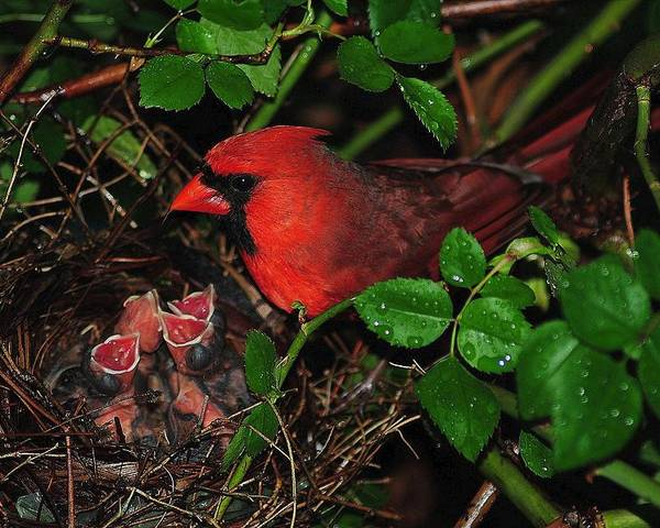 Cardinal Poster featuring the photograph I Have My Eye On You by Frozen in Time Fine Art Photography