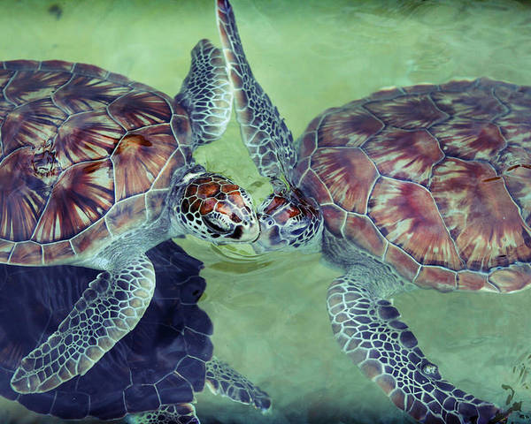Turtle Poster featuring the photograph I Kissed A Turtle And I Liked It by Ariane Moshayedi