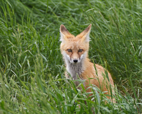 Red Fox Poster featuring the photograph I See You by Royce Howland