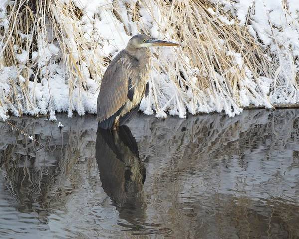 Winter Poster featuring the photograph Iced Heron by Bonfire Photography