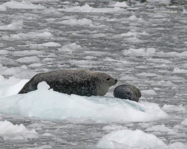 Seal Poster featuring the photograph Iced Mother by Eric Nelson