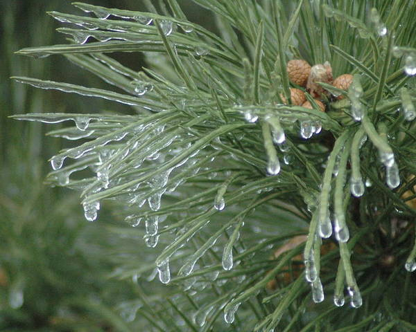 Nature Poster featuring the photograph Iced Pine by Kathy Schumann