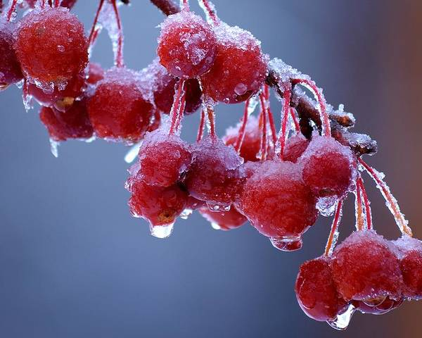 Winter Poster featuring the photograph Icy Berries by Lisa Kane