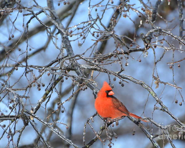 Red Bird Poster featuring the photograph Icy Red by Vicky Tubb