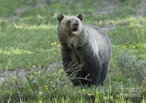 Grizzly Poster featuring the photograph I'll Only Say This Once by Sandra Bronstein