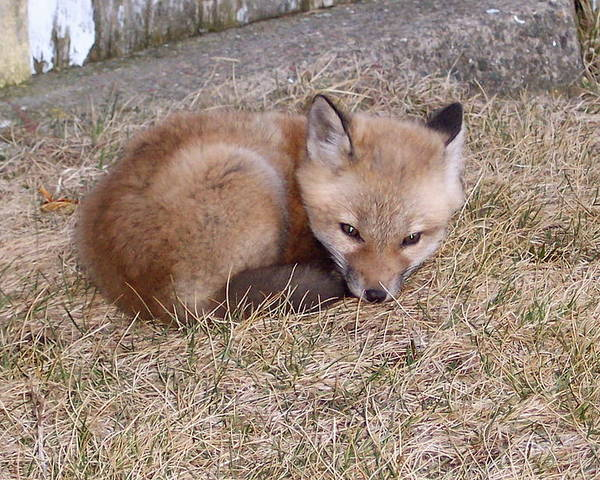 Fox Poster featuring the photograph I'll Wait Here For Mom by Maureen Beaudet