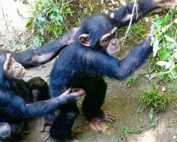 Chimpanzees Poster featuring the photograph I'm A Helper by Jacqueline Howe