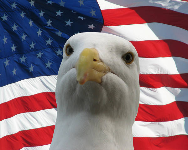 Darin Volpe Animals Poster featuring the photograph I'm An Eagle, Dammit -- Western Gull And American Flag by Darin Volpe