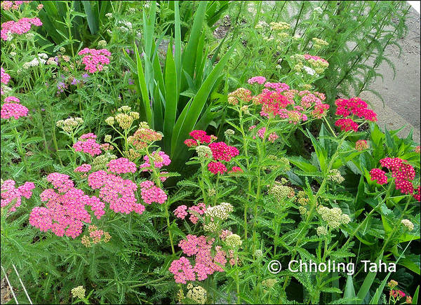 Yarrow Poster featuring the photograph In The Garden - Yarrow by Chholing Taha