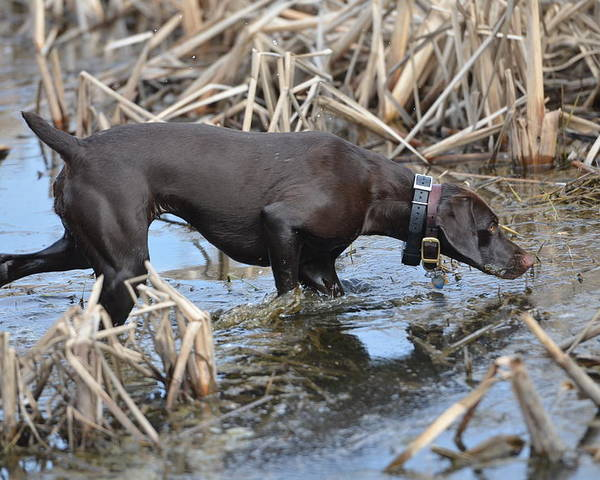 German Shorthaired Pointer Poster featuring the photograph In The Marsh by Tammy Mutka